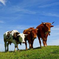 Лопатка говяжья